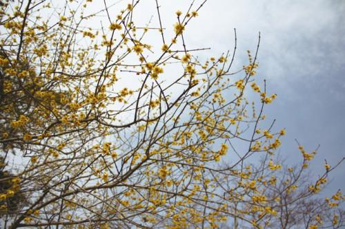 ロウバイが見事に咲いています。だいぶ見頃です。