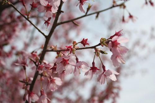 東海桜。中心が赤くかわいい