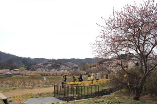 日陰のソメイヨシノは2分咲き