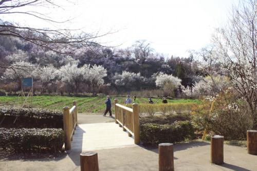ヒガンザクラ、東海桜。ここは、花見山一のフォトスポットです。