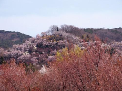 赤みある花見山