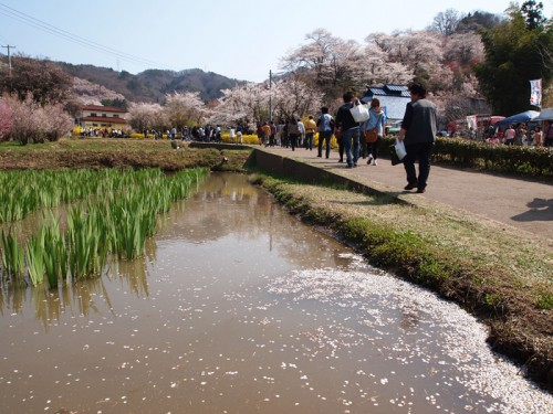 桜の花弁が菖蒲池に浮かんでいました