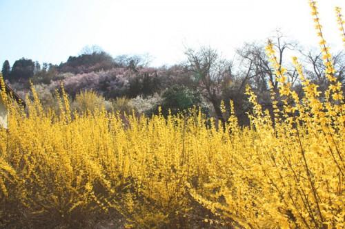 まぶしい程の黄色が美しいレンギョウ。