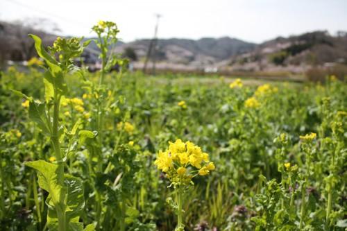 満開の菜の花畑までもうすぐ