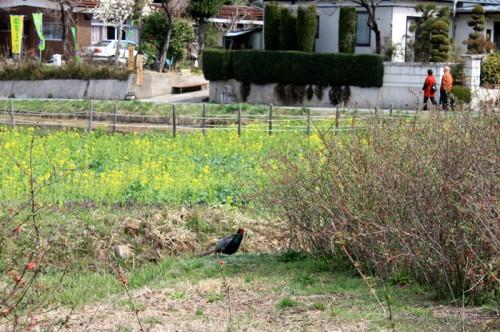 こんな近くにキジが! ボケが咲き始めました