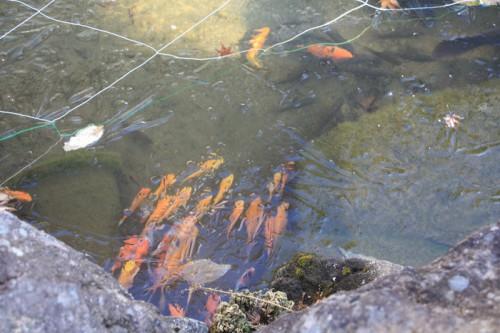 凍った池の中の鯉たちも冷たそう
