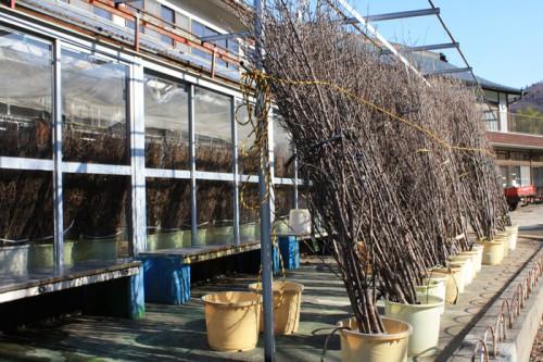 出荷用のハナモモの切木