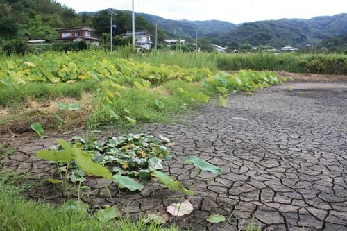 池の水が抜かれていました。 蓮などは根が密集しすぎると花が咲かないそうで、こうして池も手入れされているんですね。