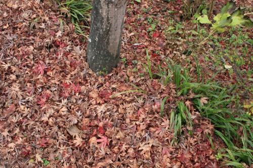 紅葉が枯れて踏むと楽しいです。