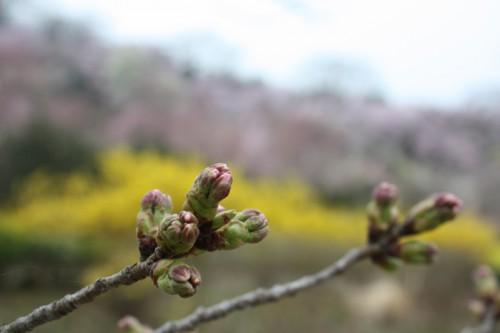 市内では咲き出した所もありますが、花見山のソメイヨシノはあと少し。