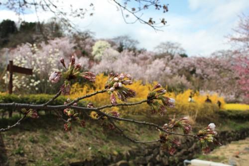 ソメイヨシノが咲き始めました