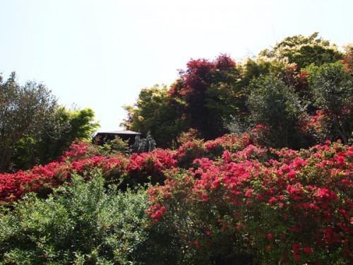 鮮明な色の花は、ツツジです