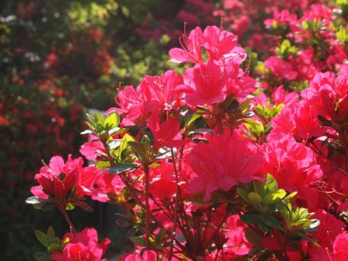 眩しい程のツツジのピンク色