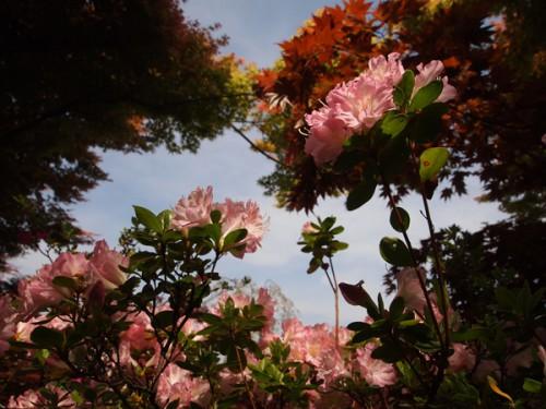 様々なツツジが咲いています