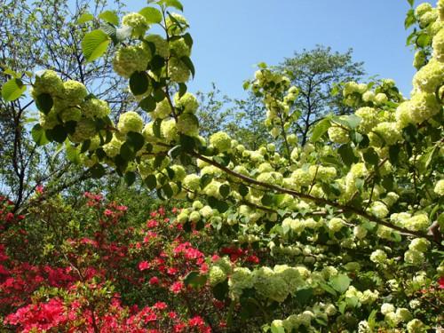 右の白い花がオオデマリ