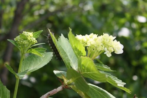 葉の裏には毛虫が…。紫陽花の毒は大丈夫なのでしょうか。