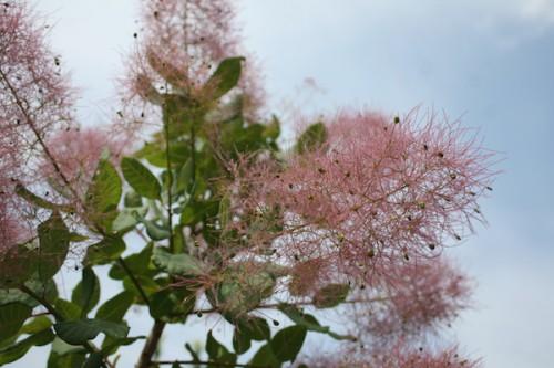 このもこもことした煙のような木はスモークツリーという名前だそうです