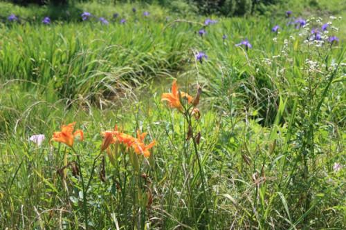 手前のオレンジ色の花はカンゾウ(萱草)、奥はカキツバタ(杜若)