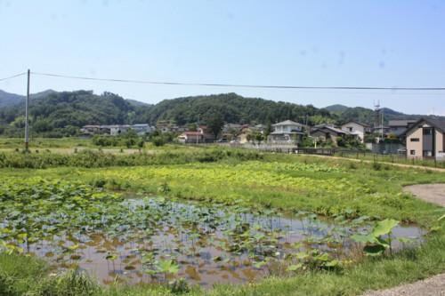蓮や睡蓮の池
