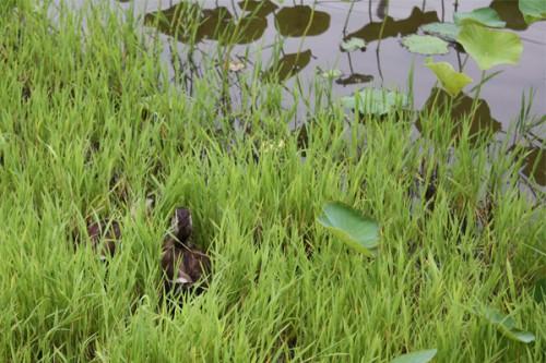 池の茂みにカモ発見