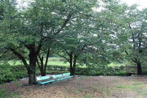 桜の葉に黄色い変化が