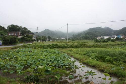 蓮池。地下茎は野菜の一種であるレンコン