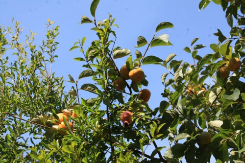 柿もだいぶ大きくなりました