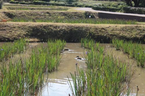 菖蒲池にはカモが