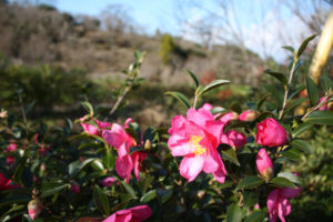 福島県福島市花見山公園の情報、サザンカの写真