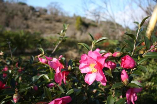福島県福島市花見山公園の情報15121h4サザンカ