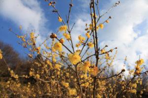 福島県福島市花見山公園の情報 ロウバイ(蠟梅)の写真