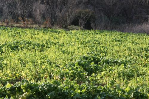 福島県福島市花見山公園の情報 菜の花の写真