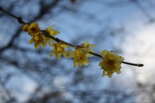 福島県福島市花見山公園の情報 蠟梅(ロウバイ)の写真