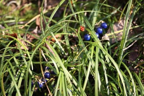 福島県福島市花見山公園の情報 青い実ジャノヒゲ・リュウノヒゲ