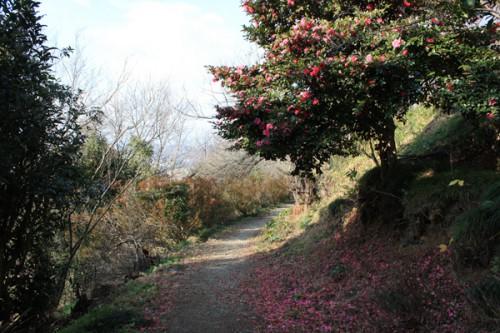 福島県福島市花見山公園の情報 寒椿の写真