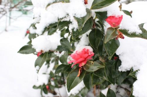 福島県福島市花見山公園の情報 雪積もる寒椿の写真