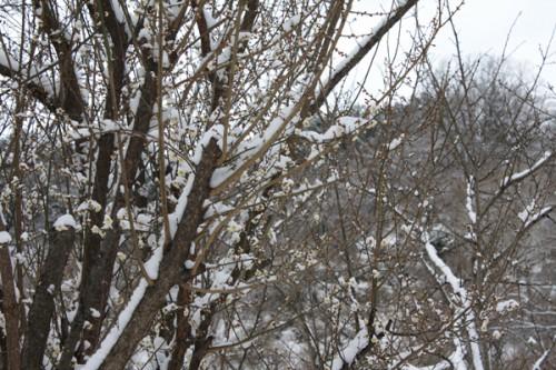 福島県福島市花見山公園の情報 雪と梅の花の写真