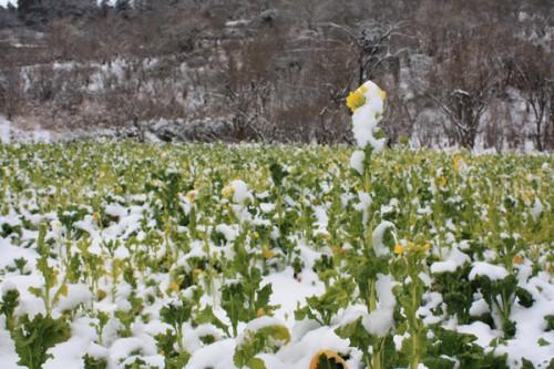 福島県福島市花見山公園の情報 雪と菜の花 写真