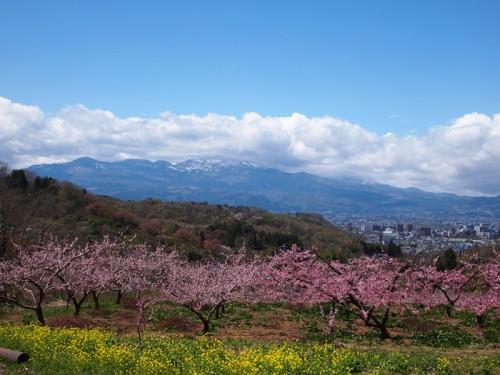 140415 福島県福島市花見山公園の情報 桃 菜の花 雪うさぎ