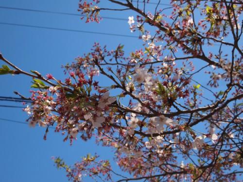 140415 福島県福島市花見山公園の情報 ソメイヨシノ
