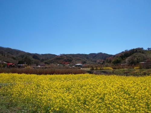140415 福島県福島市花見山公園の情報 菜の花