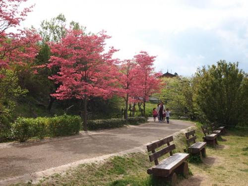160422h10 福島県福島市花見山公園の情報 ハナミズキ