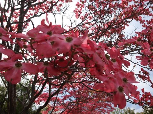 160422h11 福島県福島市花見山公園の情報 ハナミズキ