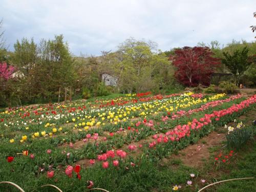 160422h4 福島県福島市花見山公園の情報 チューリップ