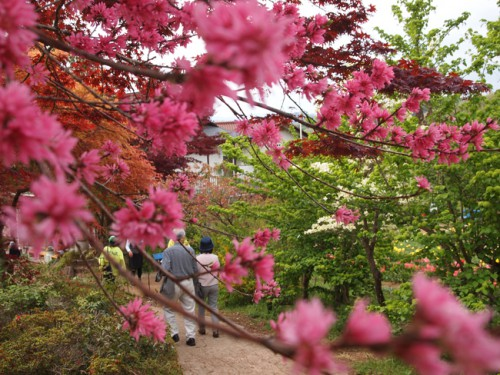 160422h7 福島県福島市花見山公園の情報 ハナモモ