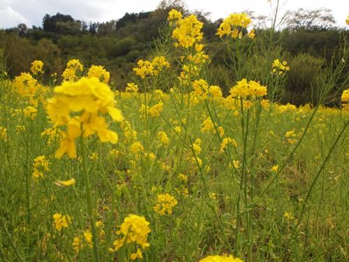 160422h8 福島県福島市花見山公園の情報 菜の花