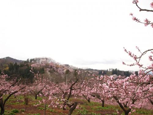 160408 福島県福島市花見山公園の情報 桃畑