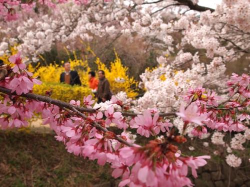 160408 福島県福島市花見山公園の情報 2種類の桜