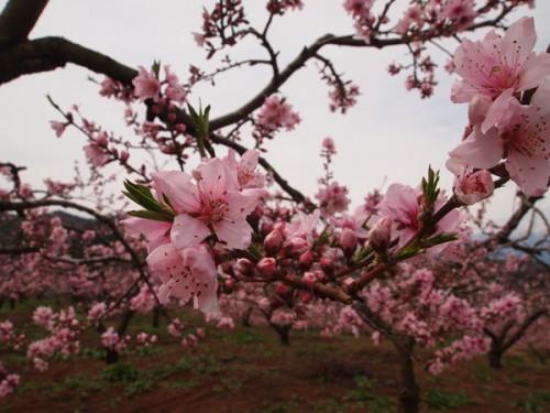 160408 福島県福島市花見山公園の情報 桃の花