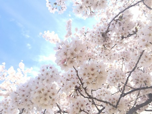 福島県福島市の新浜公園 満開の桜 2016年4月5日撮影